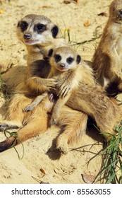Family of meerkats (focus on the little one)