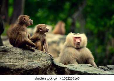 A family of monkeys on the stones