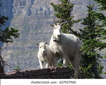 A family of mountain goat