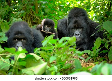 Family of mountain gorillas with a baby gorilla and a silverback posing for picture in Rwanda.