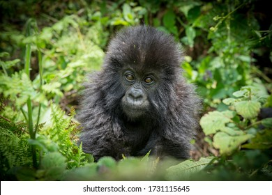 A family of mountain gorillas including a dominant  male silverback, females and babies relax in the forests of the Virunga mountains in Rwanda