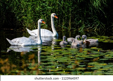 Family of mute swan (Cygnus olor) that is a famous species of swans belonging to the waterfowl family of Anatidae