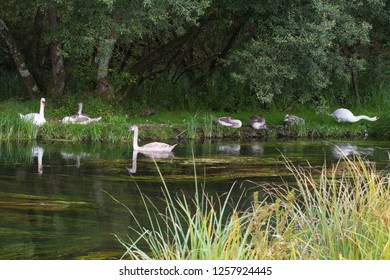 Family of mute swans (Cygnus olor) with cygnets on the riverbank, Hampshire, UK