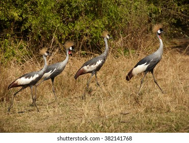 Family of national birds of Uganda, Grey Crowned Crane, Balearica regulorum on the riverbed of Nile against dry reed and green trees in background. Murchison falls, Uganda