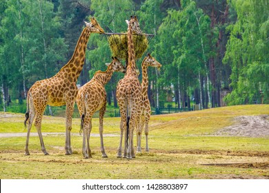 family of nubian giraffes eating hay from a tower basket, zoo animal feeding, critically endangered animal specie from Africa