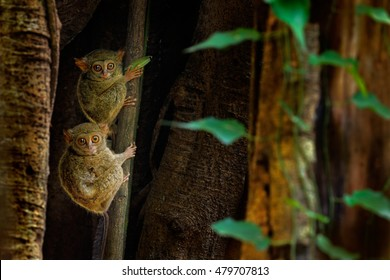 Family on the big tree. Spectral Tarsier, Tarsius spectrum, hidden portrait of rare nocturnal animals, in large ficus tree, Tangkoko National Park, Sulawesi, Indonesia, Asia.