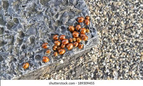Family of orange ladybirds on a grey, rocky underground