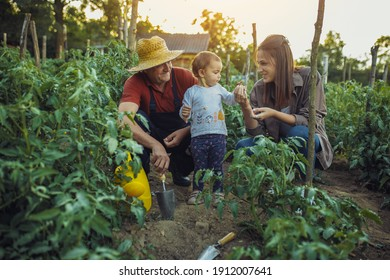 Family in organic garden. Grandfather with his daughter and granddaughter in organic garden, they eat healthy food.