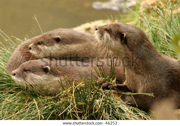 A family of otters...
