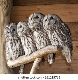 Family of owls - Strix aluco