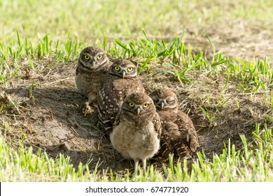 The family of the owls they are sunbathing aside of his burrow.
