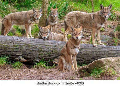 Family pack of five red wolves standing or sitting around a fallen tree, all looking toward the lens making a family portrait .The wolves in front are in focus, the wolves further behind softer focus