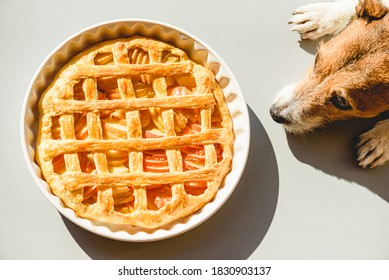 Family pet dog wishing traditional apple pie made for Thanksgiving dinner