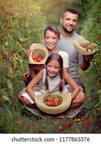 The family is picking tomatoes in the garden