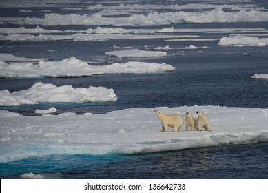 Family of polar bears on an iceberg, Greenland