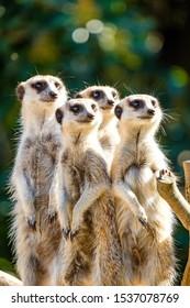 Family portrait of meerkats looking for predators
