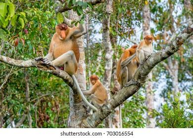 Family of Proboscis Monkeys sitting on a tree in the wild green rainforest on Borneo Island. The proboscis monkey (Nasalis larvatus) or long-nosed monkey, known as the bekantan in Indonesia