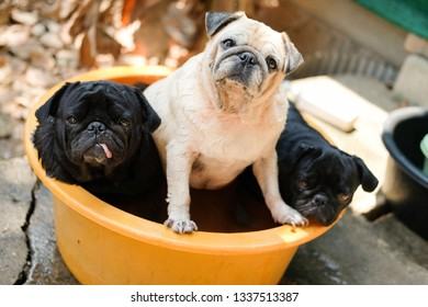 Family of pug dog waiting to bath in orange plastic bathtub.