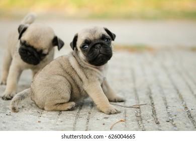 Family of pug dog.(Funny pug dog playing on concrete road.)