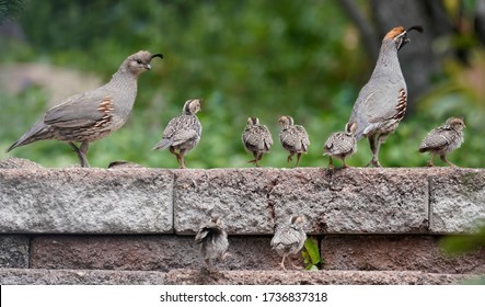 A family of quail chicks have an outing with Mom and Dad.