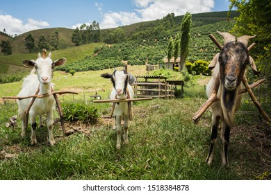Family rearing of goats in the municipality of Espera Feliz, on the outskirts of Caparaó National Park, MG, Brazil.