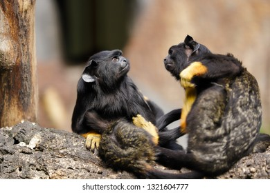 Family of the red-handed midas tamarin monkeys. New World monkey. Photography of nature and wildlife.