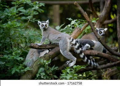 A family of Ring-tailed Lemurs in the forest