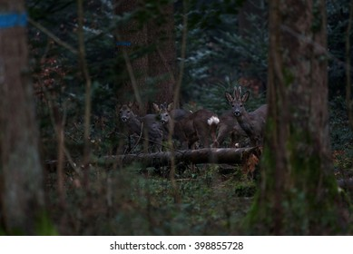 A family of roe deer are spotted among the trees after sunset.
