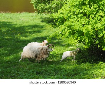 Family of sheep in a field, animal family walk on grass in summer