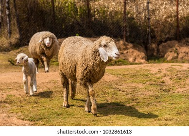 Family of Sheep going for food in a Sheep farm.