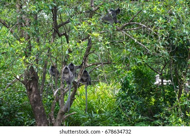 A family of silvery lutung monkeys sitting on the green tree and waiting for feeding