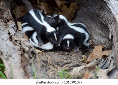 A family of skunk babies in a hollow log.