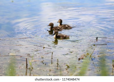 a family of small birds floating in a pond, newborn ducklings in water in summer on nature rejoice in sunny and warm weather, feathered waterfowl nestlings seek food under protection of the mother