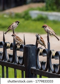 Family of small sparrows talk while sitting on a metal fence on a sunny day.