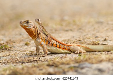 Family small-scaled lizard (round) in nature