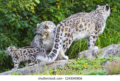 Family of snow leopards in the forest