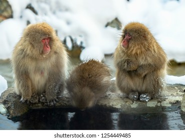 Family of Snow monkeys near the natural hot springs. The Japanese macaque ( Scientific name: Macaca fuscata), also known as the snow monkey. Natural habitat, winter season.