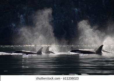 A family of Southern Resident orcas travels through Haro Strait, their blows backlit in the early morning light.
