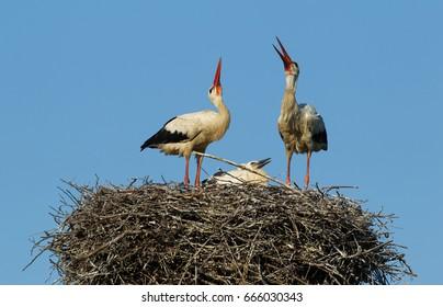 Family stork in the nest