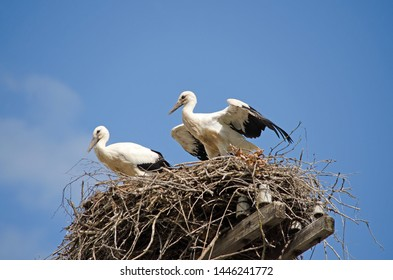 Family of storks in the nest