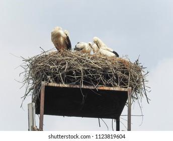 Family of storks in the nest. Poland