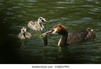 A family of stunning Great Crested Grebe (Podiceps cristatus) swimming in a river. The parent bird is feeding a Crayfish to the babies.