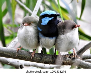 A family of Superb Fairy-wrens in South Eastern New South Wales, Australia;  brilliant blue and black father and cute brown chicks on a branch with leafy green background