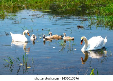 family of swans along the Danube river - Veliko Gradiste town - Serbia - very close to the Romanian border