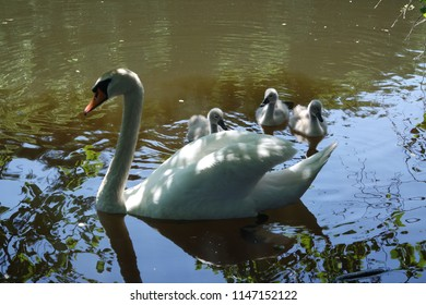 A family of swans with beautiful three gray youngsters on water