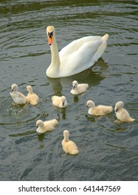Family of swans with chicks