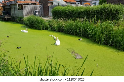 Family of swans in the lake