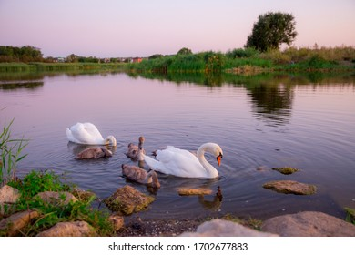 family of swans on the pond at sunset
