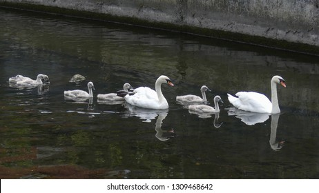 Family of swans, two adults and five cygnets swimming on the river