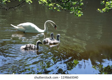 A family of swans with youngsters